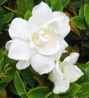 AISM invita le donne a regalare una gardenia
