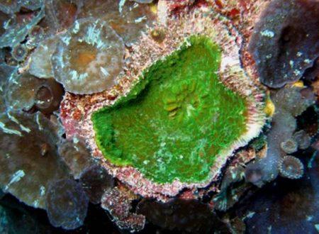 Nuovo corallo scoperto in Polinesia