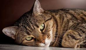 Il gatto soriano tra il mito e la mia realtà